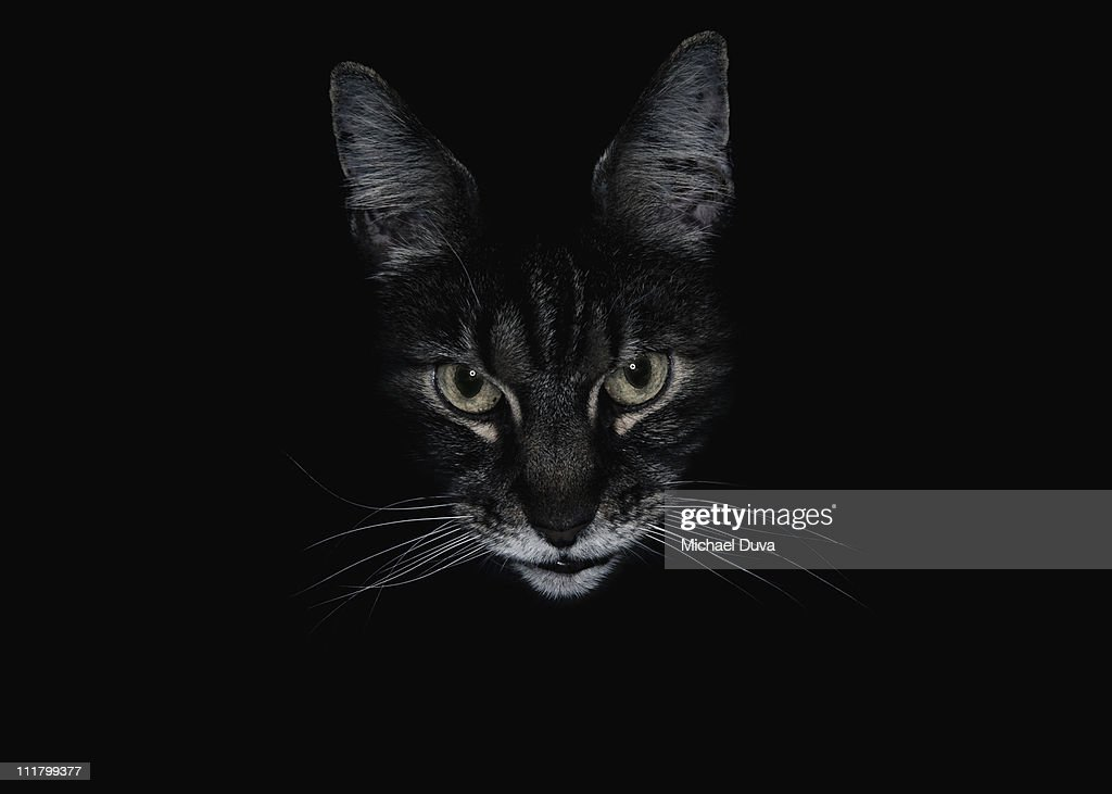 Cat black background looking at camera : Stock Photo
