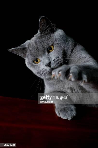 Gato de pêlo curto britânico clawing o ar