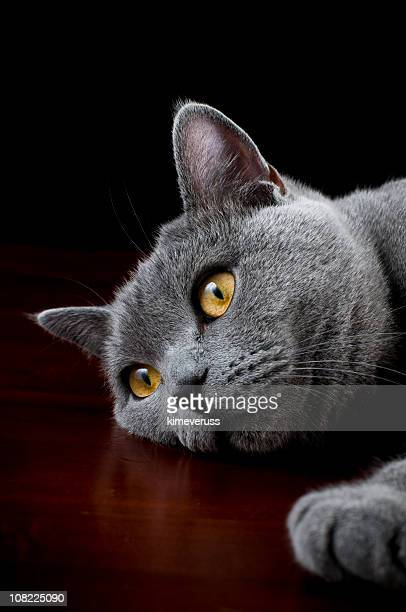Britânico Gato de pêlo curto Filhote de Gato Posando para Câmera