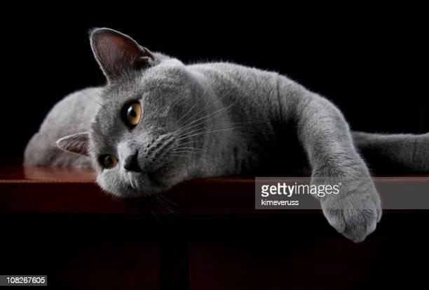 Gato de pêlo curto Posando para Câmera Britânico