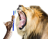 Funny photo of cat brushing lion's teeth