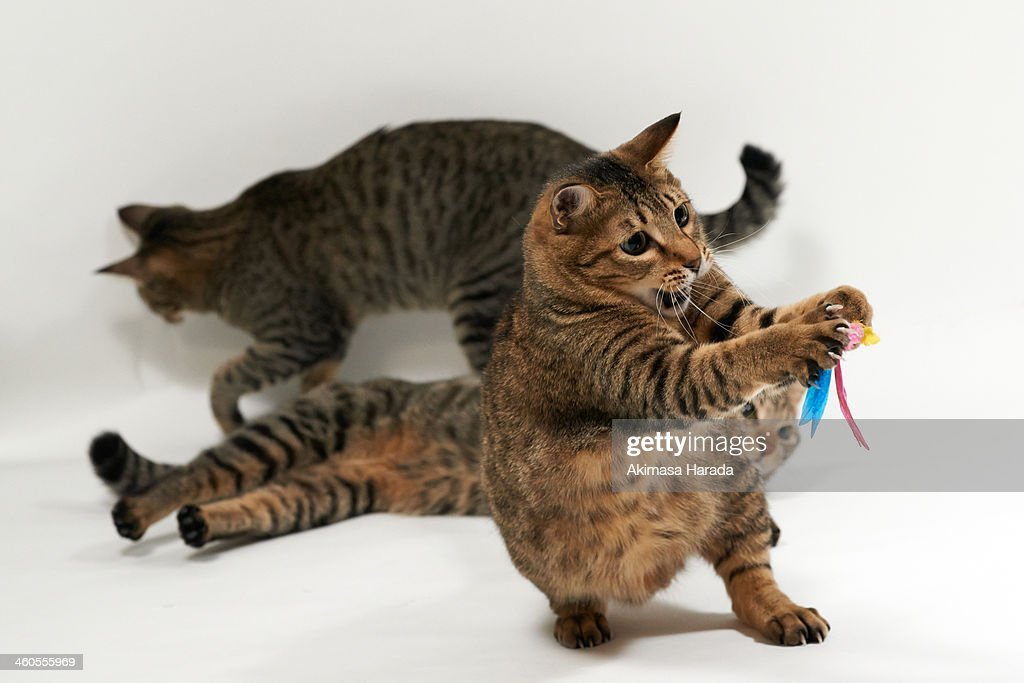 Cat catching a toy : Stock Photo