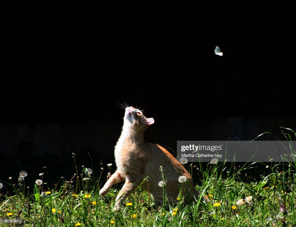 Cat chasing butterfly : Stock Photo
