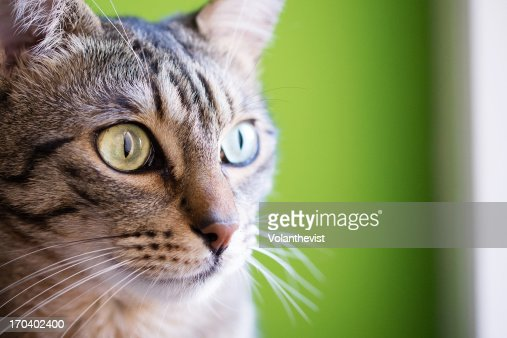 Cat closeup. Green big eyes and striped fur : Stock Photo
