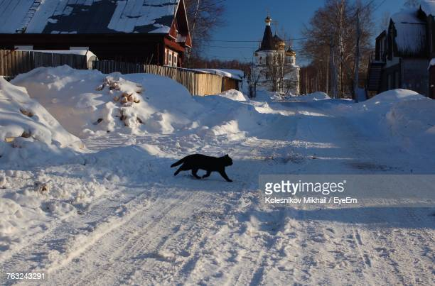Cat Crossing Snow Covered Road