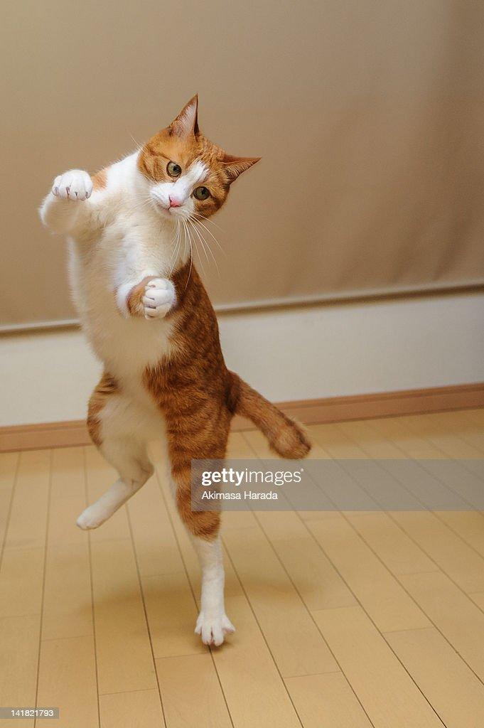 Cat dancing : Stock Photo