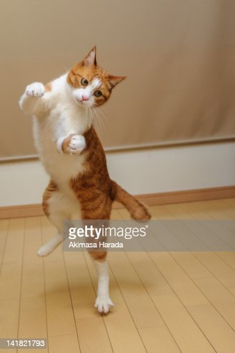 Cat dancing : Stock Photo