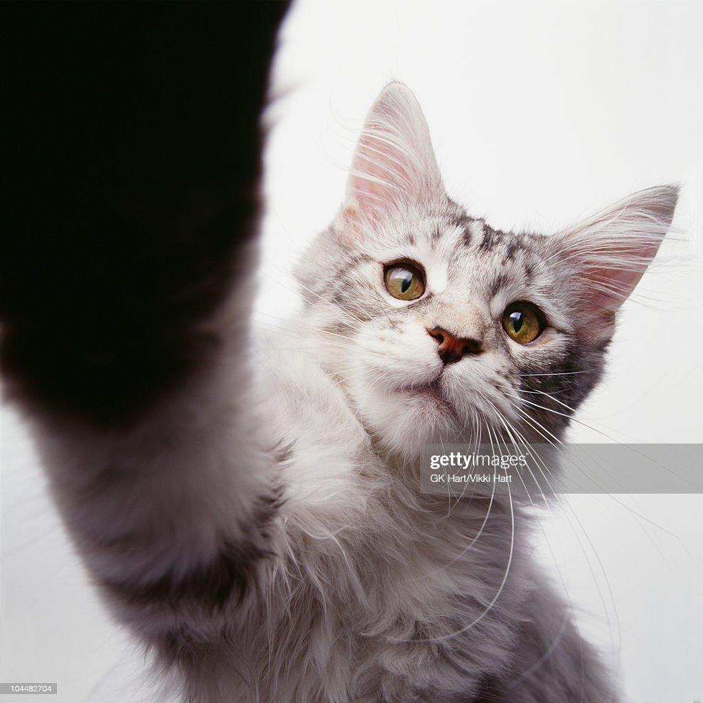 Cat Doing High Five : Stock Photo