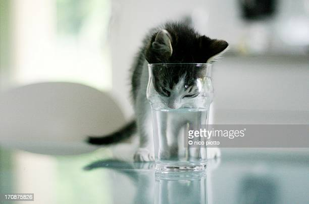 Cat drinking water of glass