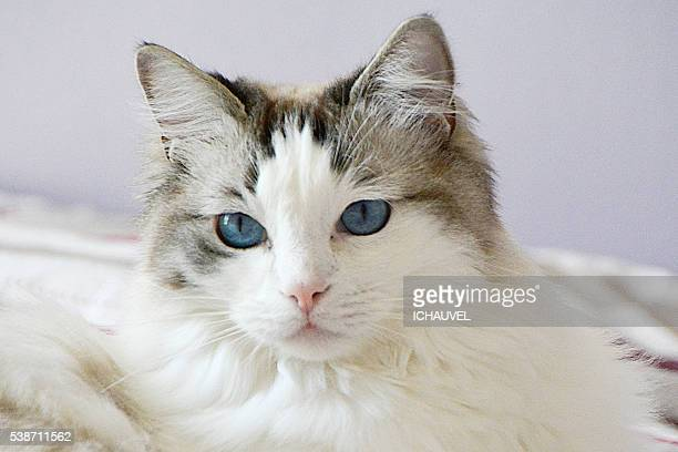 Cat eyes Ragdoll