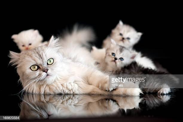 猫のファミリ