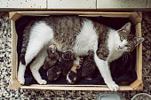 Domestic cat laying down and feed hers five kittens