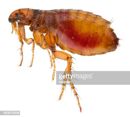Cat flea full of human blood