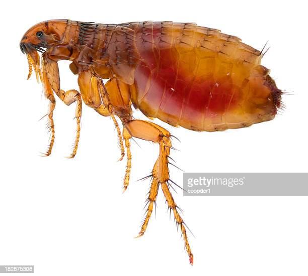 Cat flea full of human blood