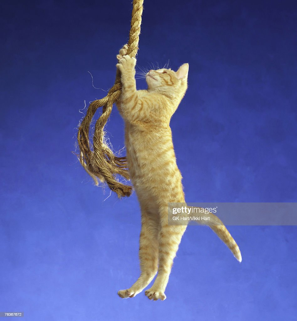 Cat hanging from rope : Stock Photo