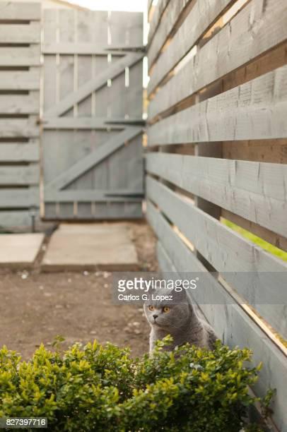 Cat hiding behind hedge in Garden