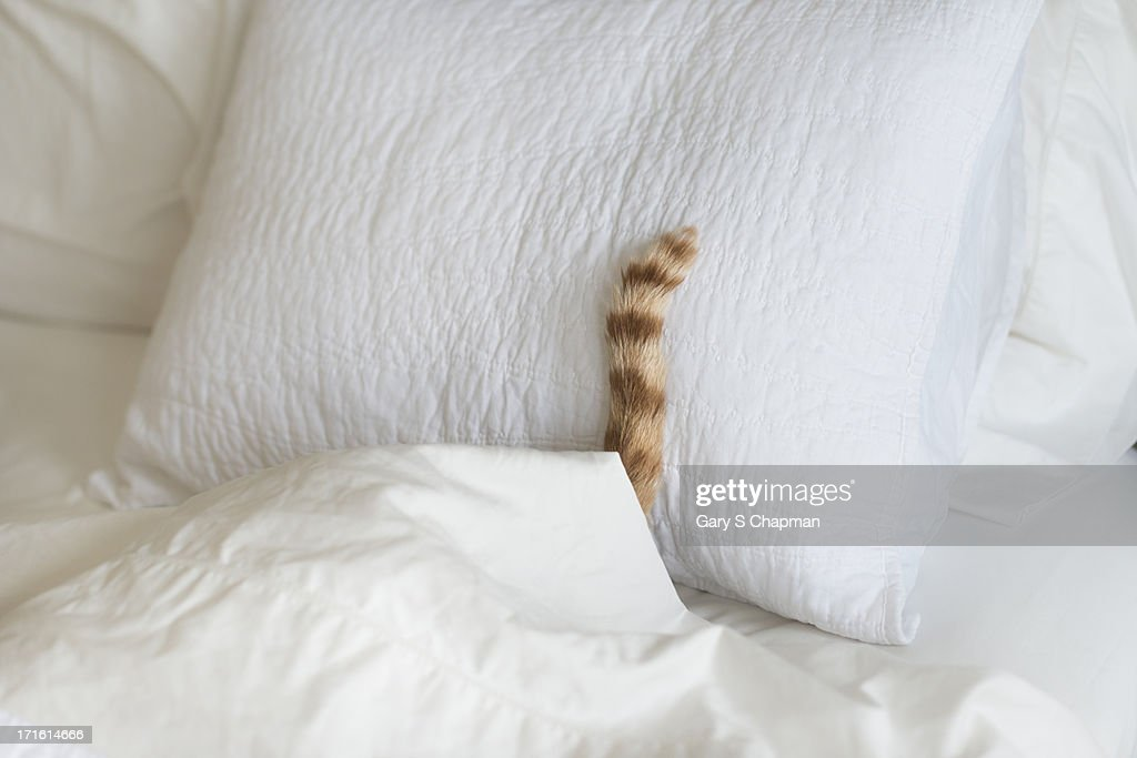 Cat hiding under bed covers : Stock Photo