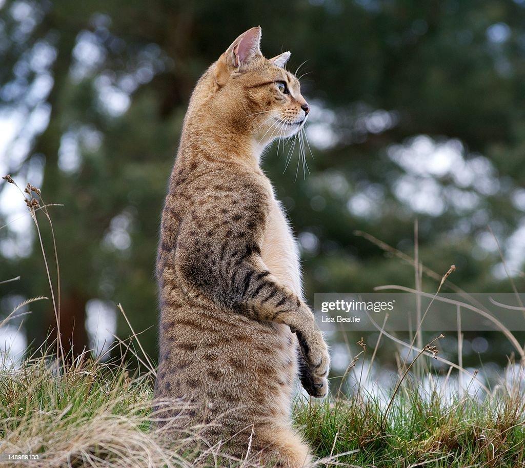 Cat impersonating Meerkat