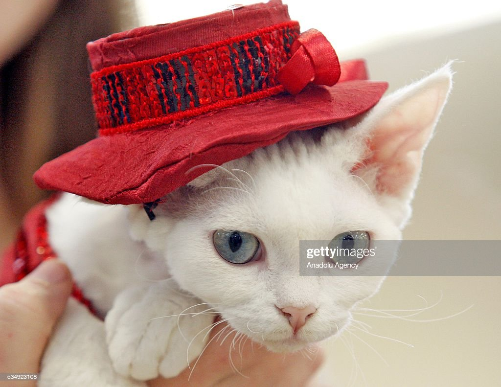 A cat in a costume is seen dduring a costume contest organized within the Cat Show 'Royal Feline' in Kiev, Ukraine May 28, 2016. The exhibition presents rare breed cats like dwarf tiger 'Toyger', the tiniest cat in the world, Singapore's cat, Somali's cat and many others.