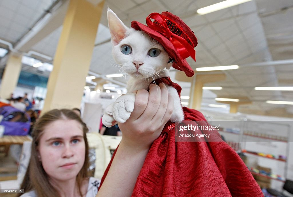 A cat in a costume is seen during a costume contest organized within the Cat Show 'Royal Feline' in Kiev, Ukraine May 28, 2016. The exhibition presents rare breed cats like dwarf tiger 'Toyger', the tiniest cat in the world, Singapore's cat, Somali's cat and many others.