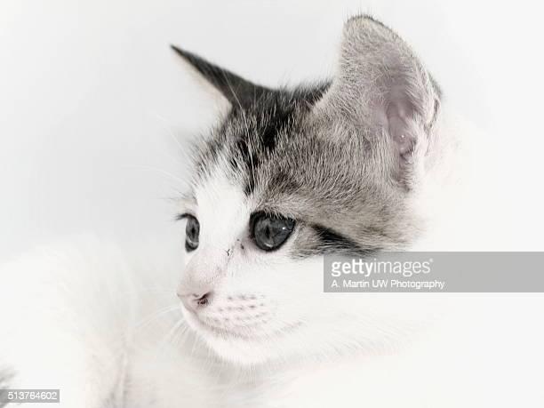 Cat in a photo studio (High key)