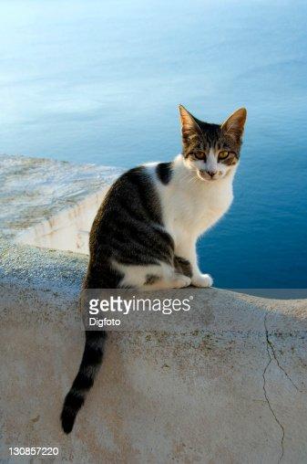 Cat in front of the caldera, Oia, Santorini, Cyclades, Aegean Sea, Greece