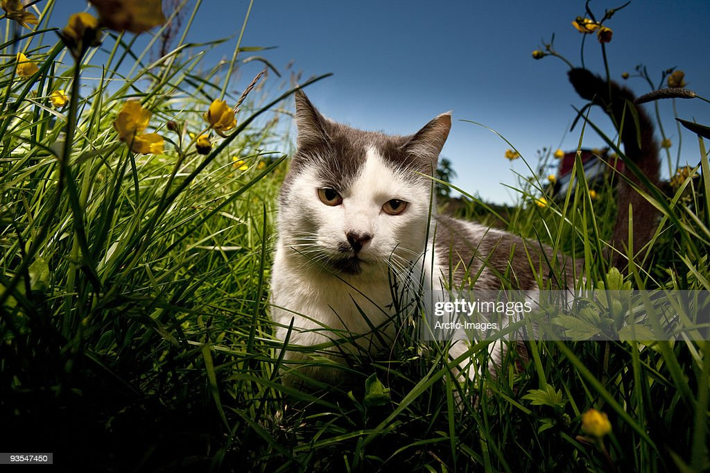 Cat in meadow with wildflowers : Stock Photo