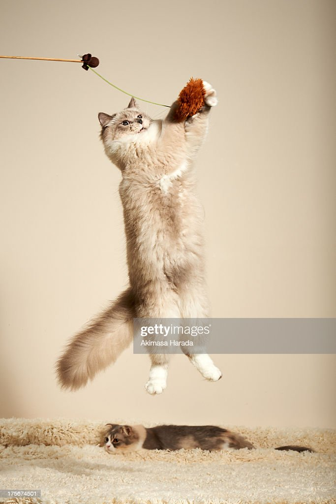 Cat is jumping to a toy. : Stock Photo