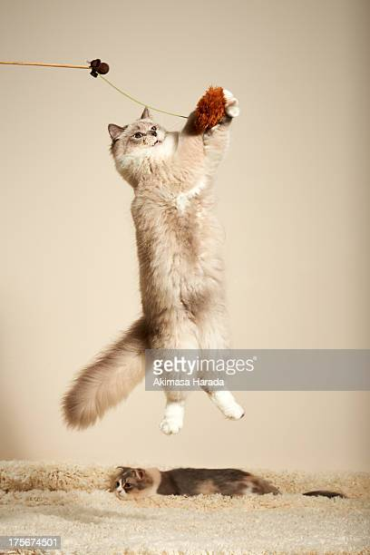 Cat is jumping to a toy.