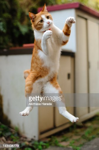 Cat jumping in midair : Stock Photo