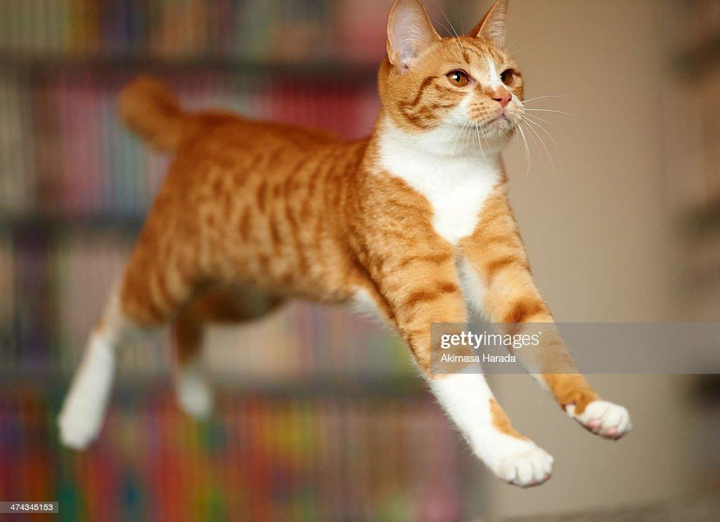 Cat Jumping : Stock Photo