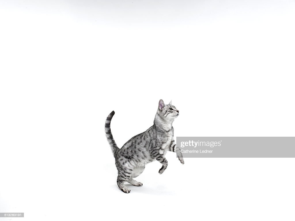 Cat just befor jumping