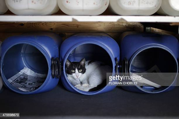 A cat lays in a jerrycan at the Malcom Cat Protection Society shelter on April 22 2015 in the Sovereign Base Area of Akrotiri a British overseas...