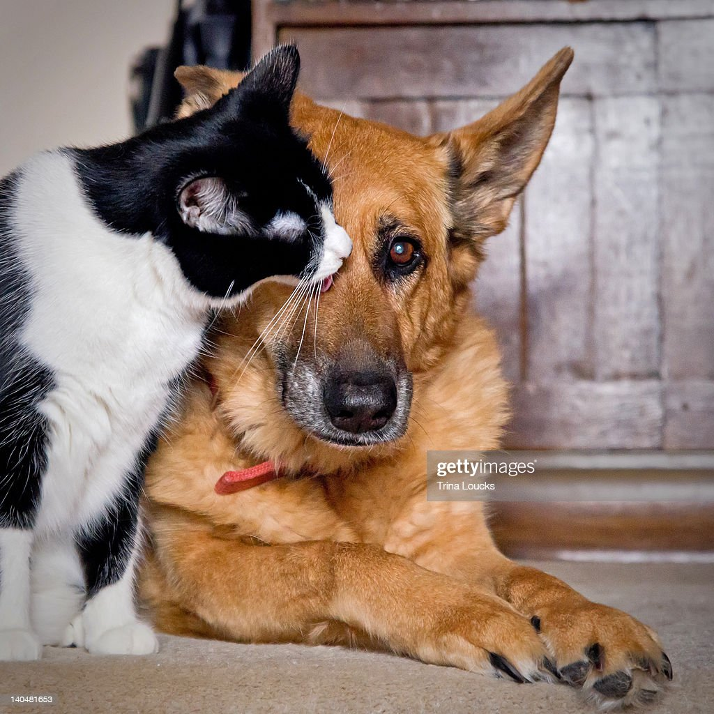 Cat licking face of dog : Stock Photo