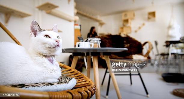 A cat lies on a chair in the first cat cafe in Amsterdam the Netherlands on April 21 2015 Already popular in Tokyo where there are dozens cat cafes...