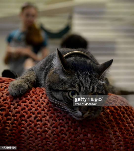 A cat lies on a cushion at Moscow's Cats and People cat cafe on May 18 2015 Cat cafes allow customers who cannot have a pet at home to enjoy a cup of...