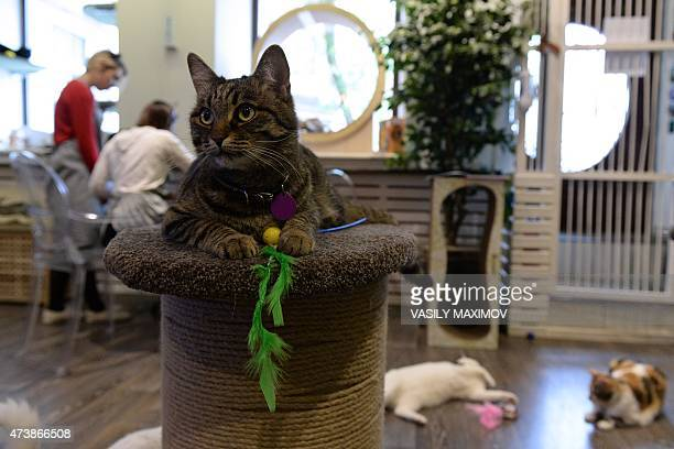 A cat lies on a pedestal at Moscow's Cats and People cat cafe on May 18 2015 Cat cafes allow customers who cannot have a pet at home to enjoy a cup...