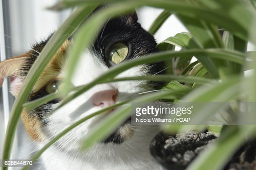 a cat looking through spider plant stock photo getty images. Black Bedroom Furniture Sets. Home Design Ideas