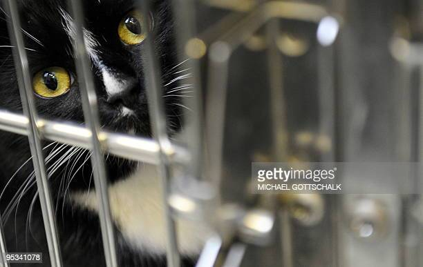 A cat looks out from a cage at an animal shelter in Berlin on December 26 2009 The animal shelter has taken in 106 animals since Christmas Eve AFP...