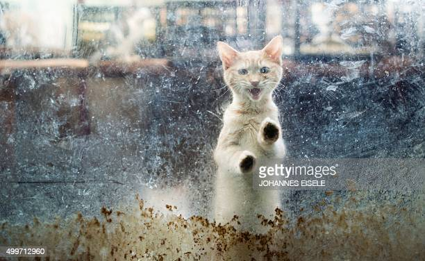 A cat looks out of a window at a Buddhist temple in the suburbs of Shanghai on December 3 2015 A monk named Zhi Xiang has given shelter to some 100...