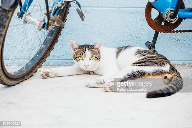 cat lying at the blue wall under the bicycle