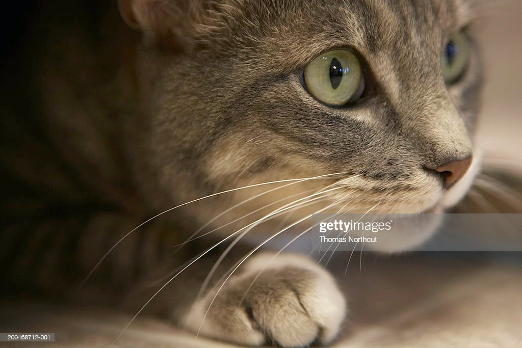 'Cat lying down, close-up (focus on cat's face)' : Stock Photo
