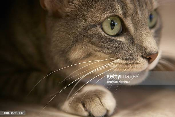 'Cat lying down, close-up (focus on cat's face)'