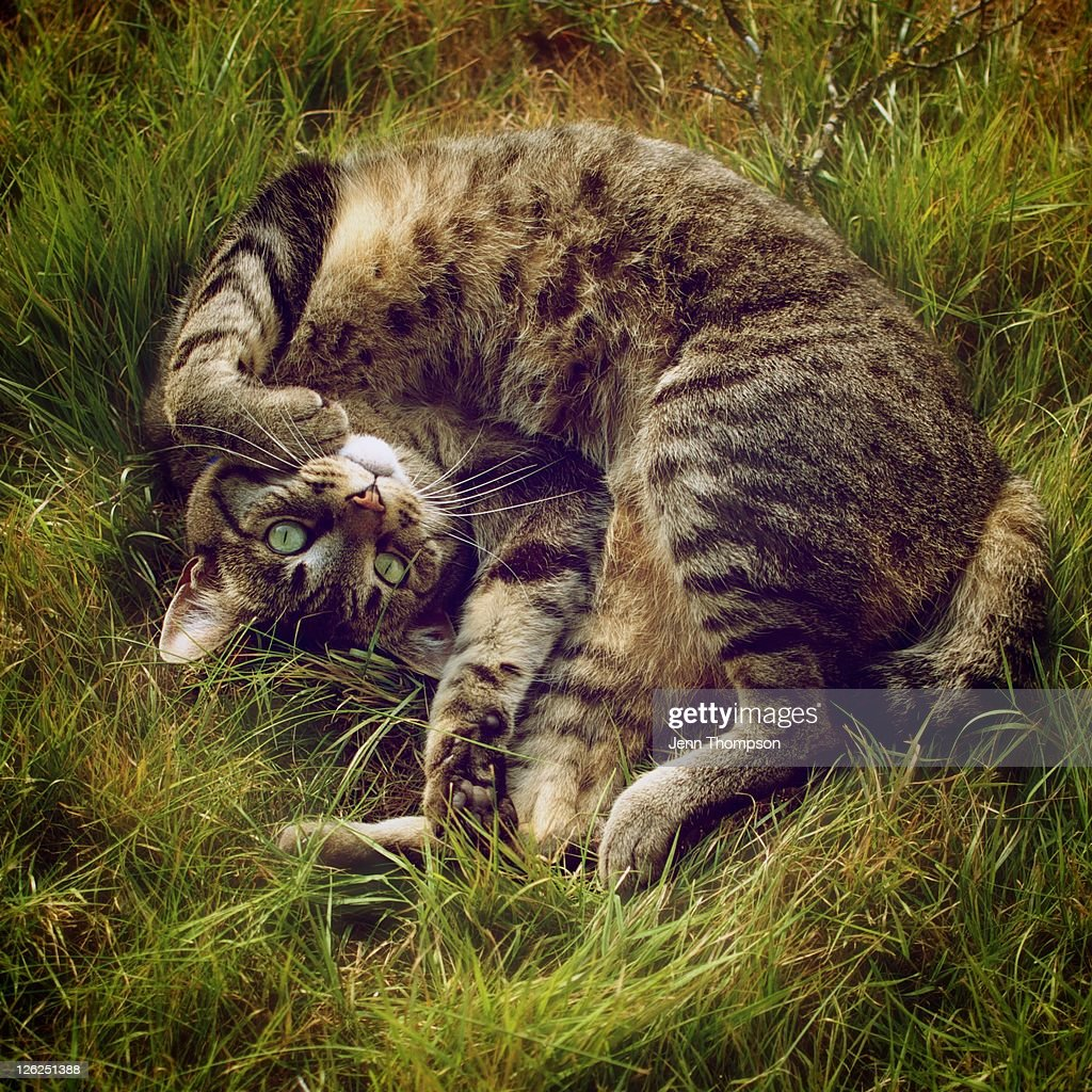Cat lying in grass : Stock Photo