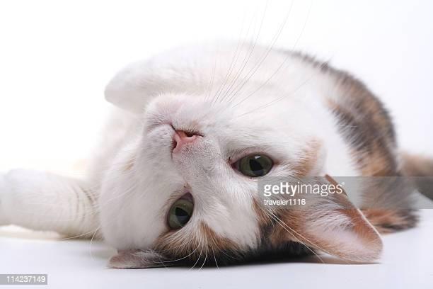 cat lying on its back