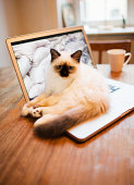 Cat lying on laptop on desk