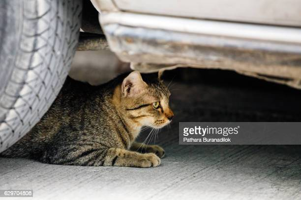 Cat lying under the car
