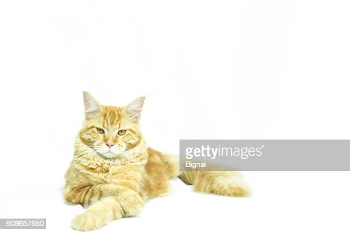 Cat Maine Coon breed lying in isolated : Stock Photo