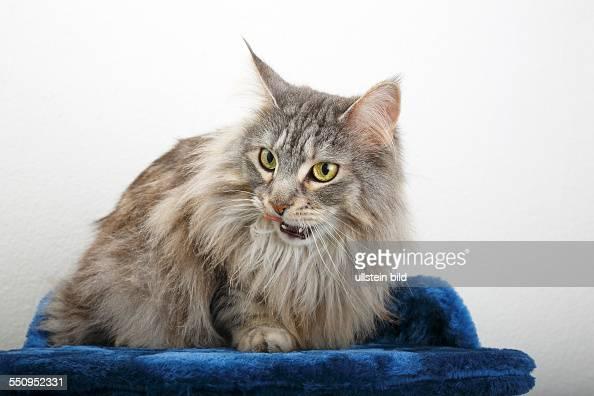 cat Maine Coon MaineCoonCat American Longhair cat domestic cat
