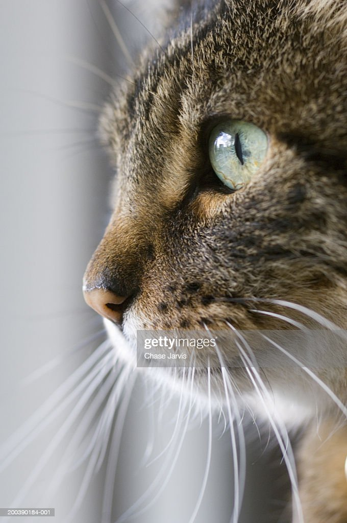 Cat meowing, close-up, side view : Stock Photo